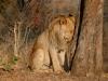 África, Zimbabwe Paseo con Leones