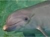 Delfines, Roatan