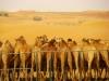 Camellos en desierto de Dubái